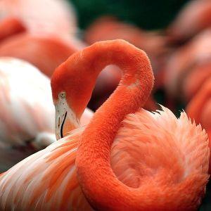 Flamingo rosado (em Extinção)